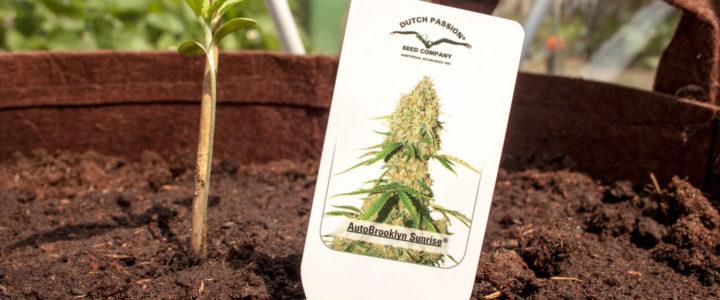 Co jsou Autoflowering semena